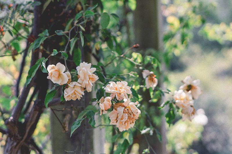 jardineria-flores-2-paisajismo-flores-rosas-arbusto