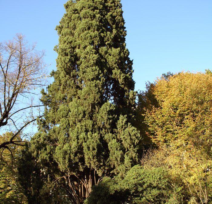 cipres_poda_altura_jardinería