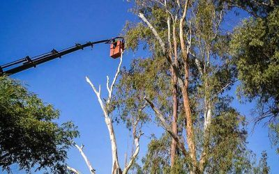 Trabajamos en la tala controlada de tres ejemplares de eucalipto.