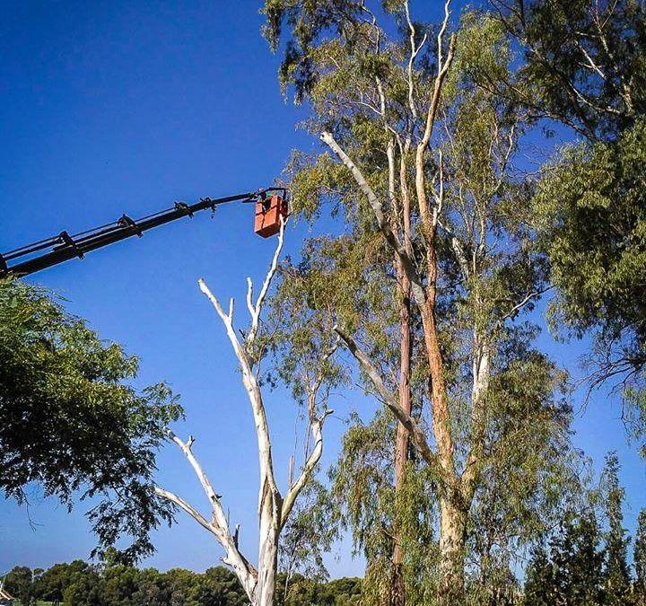 poda-altura-eucaliptos-marbella-seguridad-pinsapo-garden