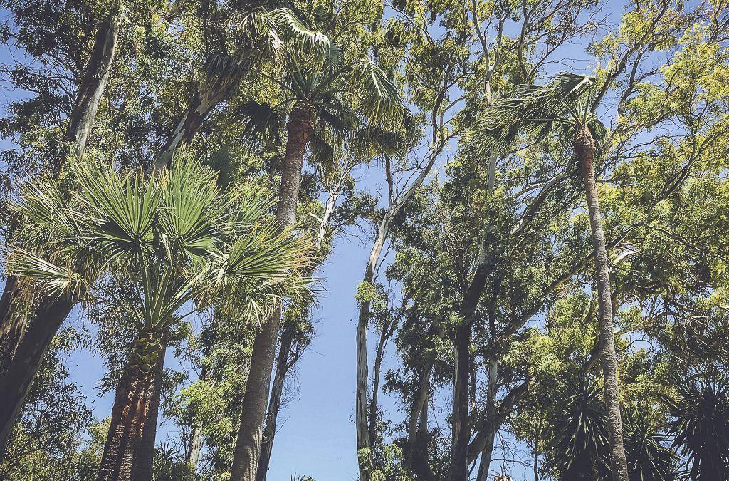 Puerto-Banus-Marbella-poda-altura-eucalipto