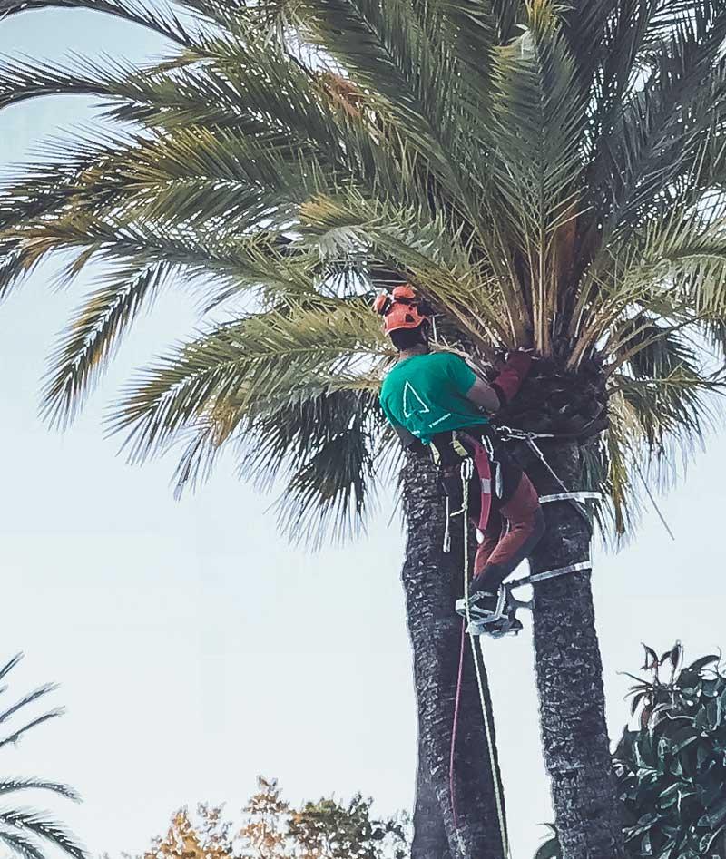 poda-en-altura-seguridad-trabajo-benalmádena-hombre-palmera-subido-con-casco-proteccion-seguridad