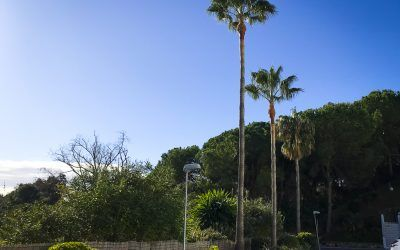 Pinsapo Garden realiza la poda de 12 palmeras Washingtonias en Benalmádena.