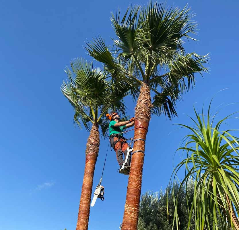 palmera-arbol-Washingtonia-tala-o-poda-altura