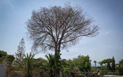 Pinsapo Garden realiza una poda segura en un árbol de grandes dimensiones.
