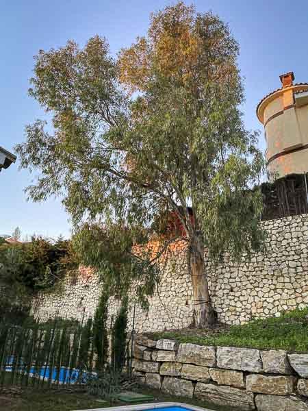 eucalipto de grandes dimensiones en Benalmádena, Málaga